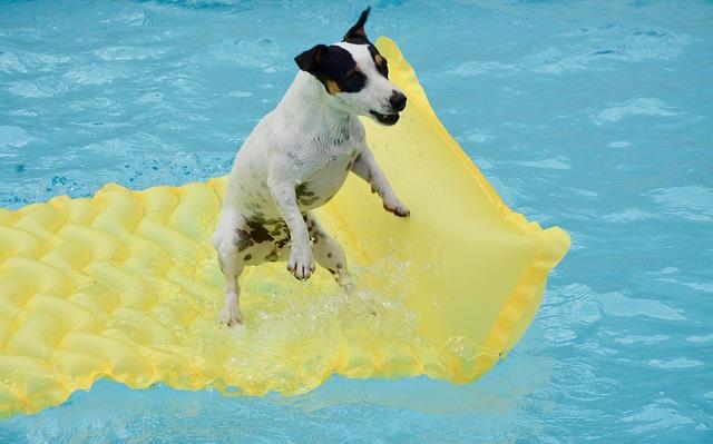 jack russel v bazénu